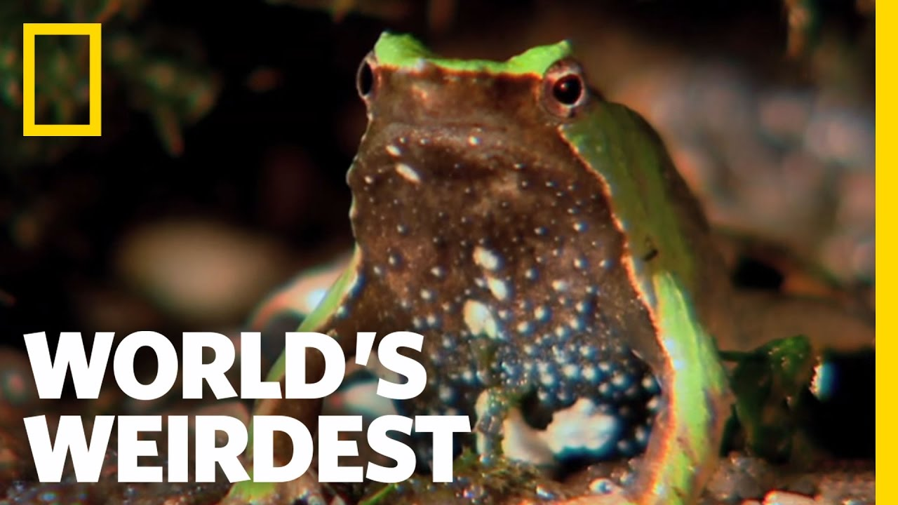 Frog Father Quot Spits Out Quot Young World S Weirdest Youtube