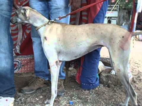 Chippiparai Dog For Sale In Coimbatore