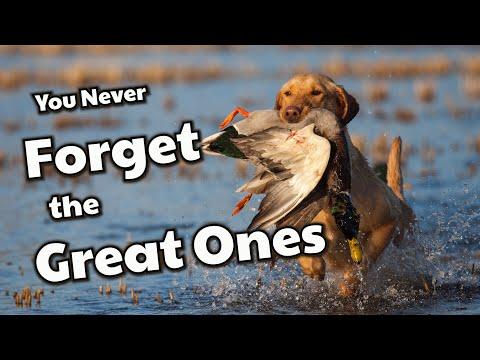 Duck Hunting Retrievers | Why We Love Them!