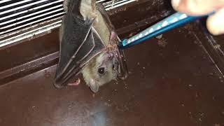 انثى الخفاش تلد صغيرها (خفوش) مع جمال العمواسي