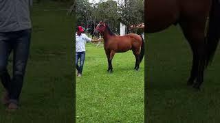 Special Blue H2M - QM à Venda No N1 Cavalos