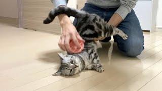 Brushing American shorthair cat