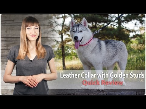 Designer Leather Dog Collar with Golden Studs – Quick Review