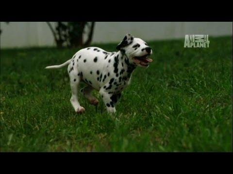 Dalmatians Cause Destruction | Too Cute!