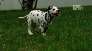 Dalmatians Cause Destruction | Too Cute!