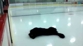 Newfoundland dog tries skating on the ice at a hockey arena.If you love Newfies you will enjoy this.