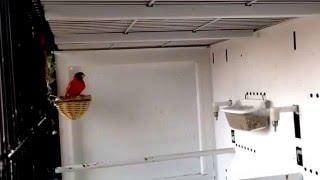 Carduelis Cucullata, Cardenalito de Venezuela Isabela. Kapuzenzeisig. Red Siskin. Pintassilgo