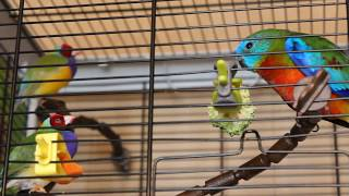 Попугай и амадины, жизнь в семье