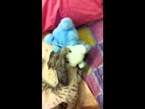 Cornish Rex cat cuddling