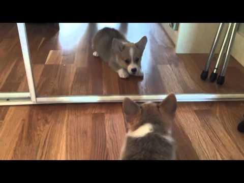 Corgi puppy doesn't understand mirrors