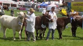 Gwartheg Byrgorn - rhan 2 | Shorthorn Cattle - part 2