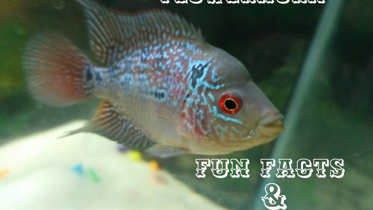 Flowerhorn fish facts and care tips - YouTube