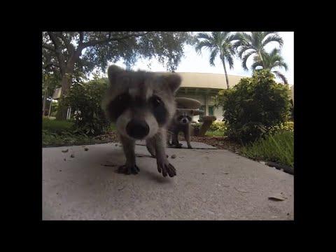 Raccoon Stealing Cat Food Thug