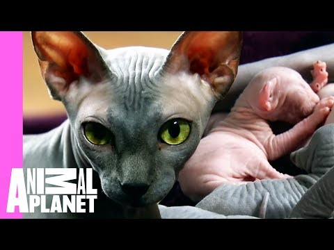 Bald & Beautiful: Sphynx Kittens | Too Cute!