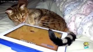 Самые умные коты Сообразительные кошки смешные коты