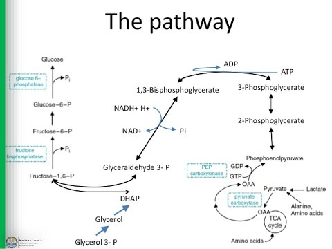 1 Gluconeogenesis - chapter 18