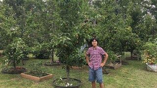 Our 9 Varieties Asian Pears -  Atago Hosui Kosui Niitaka Olympic Shinko Shinseiki Shinsui Yoinashi