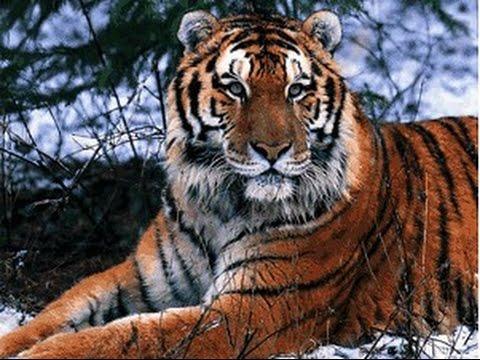 tiger king - photo #4