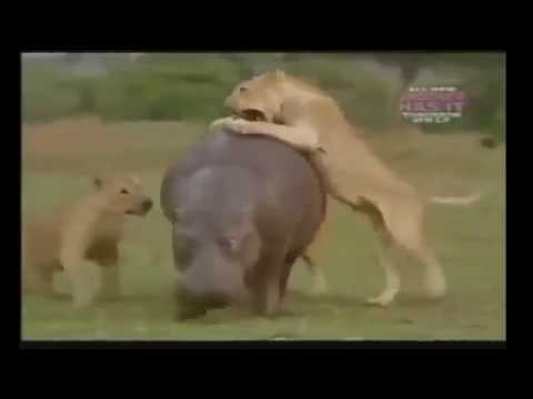 Download Top 10 Craziest Animal Fights Caught On Camera Most Amazing Wild Animal Attacks GTV