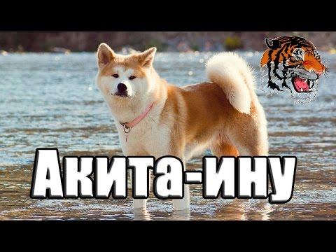 японские породы собак акита ину фото