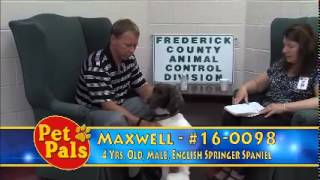 Meet Maxwell A Spaniel English Springer Currently Available For Adoption At Petango.com! 7/14/2015