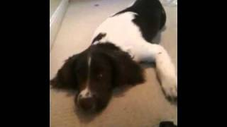 5 Month Old Springer Spaniel