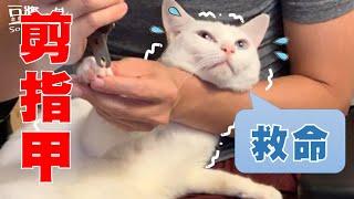 【豆漿 - SoybeanMilk】自己家的貓咪 很難剪指甲