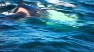 The whale that ate Jaws with Dr Ingrid N. Visser Orca Attack on Great White Shark