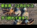 東京湾 木更津 堤防 タコ釣り マダコ釣果5匹 冬タコ釣れてます‼️2020年12月 お正月のタコは江戸前で🆗🐙