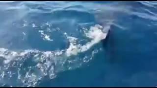 Squalo elefante avvistato a Mortorio in Sardegna