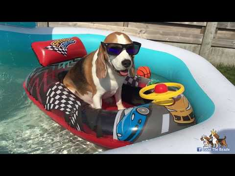 BEAGLES | Best Dogs in The World | Louie The Beagle