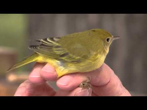 Scientists In Action  Rocky Mountain Bird Observatory HD