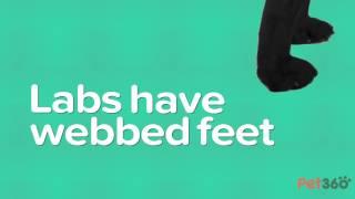 5 Facts About Labrador Retrievers