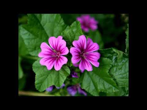 Mauve, plante médicinale - YouTube