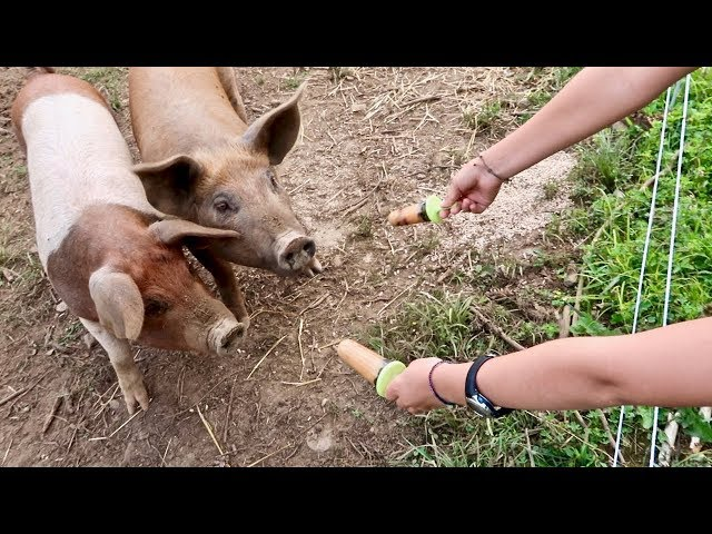 Pigs LOVE Popsicles!