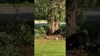 Protective Jack Russell Sends Bear Stumbling Back Into British Columbia Woods