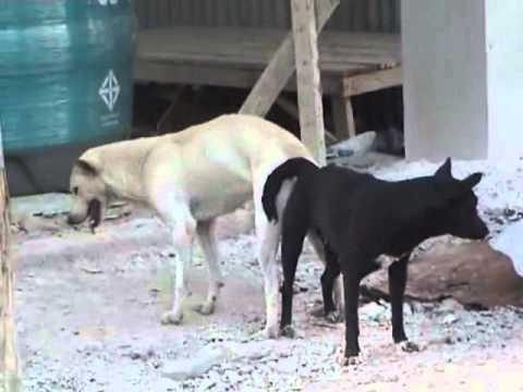 Hunde bumsen.flv - YouTube