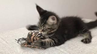 Питомник кошек породы мейн-кун HELENA HOUSE