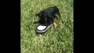 Puppy Miniature Doberman Pinscher Available