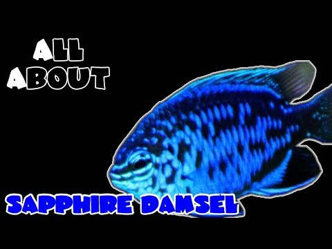 All About The Blue Sapphire Damselfish