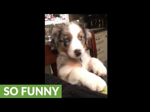Australian Shepherd patiently waits at table for dinner