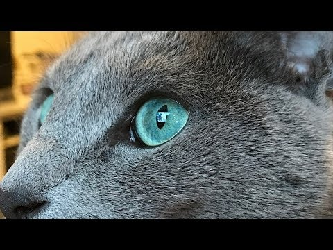 How to Identify a Russian Blue - Recognizing Russian Blue Characteristics