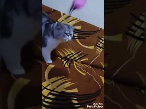 exotic shorthair proven boy for sale in india