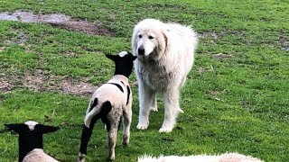 Maremma and lamb loving on each other