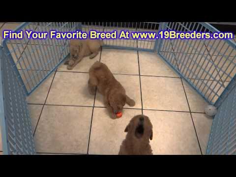 Golden Doodle, Puppies For Sale, In, Bellevue, Washington, WA, Yakima, Kitsap, Thurston, Clark, Spok from YouTube · Duration:  25 seconds