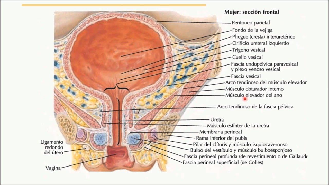 Resultado de imagen para vejiga femenina