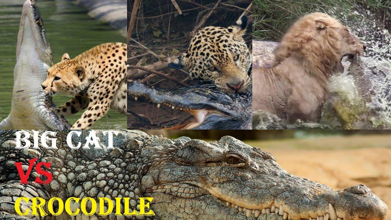 Download Crocodile VS Big Cat - Top Big Cats VS Crocodile Moments