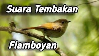 Download masteran untuk cucak ijo suara tembakan burung flamboyan #isiancucakijo