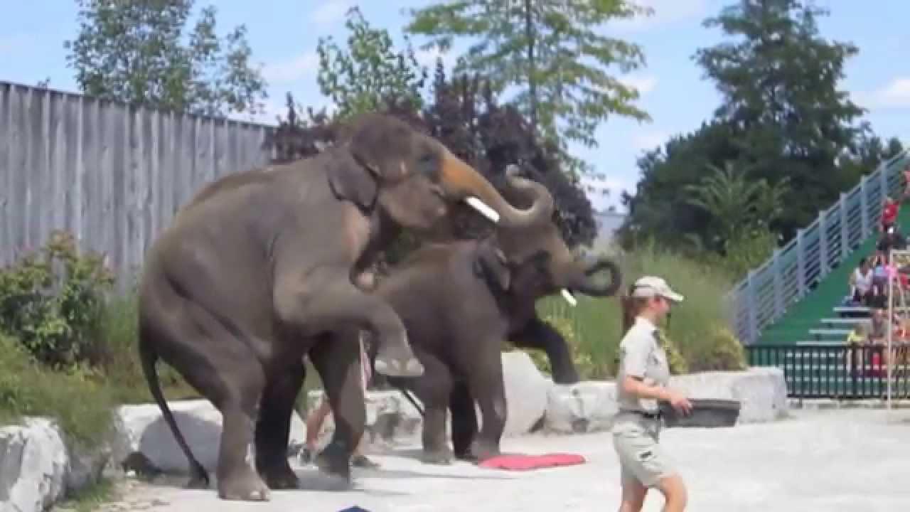 Elephant Show @ African Lion Safari