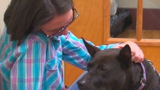 Dog Fighting Victims Get Second Chance Through Volunteer Care, Rehabilitation And Training